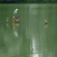 Héron Cendré sur le lac de Bannac © PNRCQ (Puissauve Renaud)
