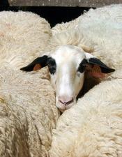 La  Brebis des Causses du Lot : sa laine et ses usages au fil du temps