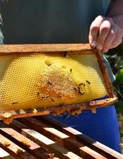 Du pollen au miel / Rencontre avec un apiculteur