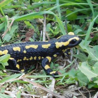 Salamandre tachetée © O.Marchal PNRCQ