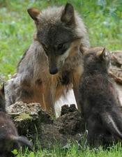 parc+animalier+de+gramat+-+loups