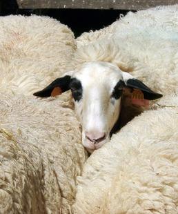 La brebis des Causses du Lot : sa laine et ses usages au fil du temps / Conférence et exposition