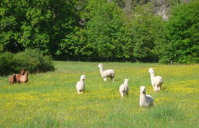 Alpagas du Quercy 3 - Frayssinet
